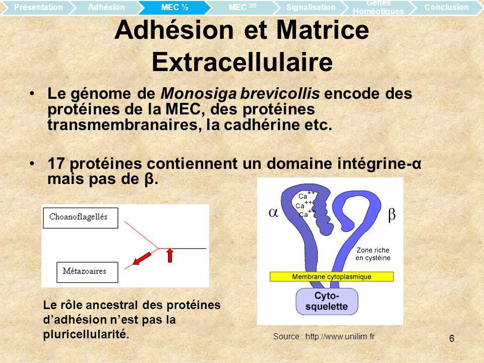 7 Protéines associée à la MEC Le collagène se condense pour donner la lame basale (Homoscléromorpha).