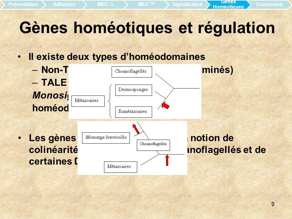 10 Conclusion générale La morphologie nest pas lunique indice permettant le rapprochement des Choanoflagellés aux Métazoaires.