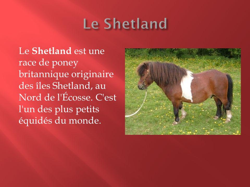 Le Shetland est une race de poney britannique originaire des îles Shetland, au Nord de l'Écosse. C'est l'un des plus petits équidés du monde.