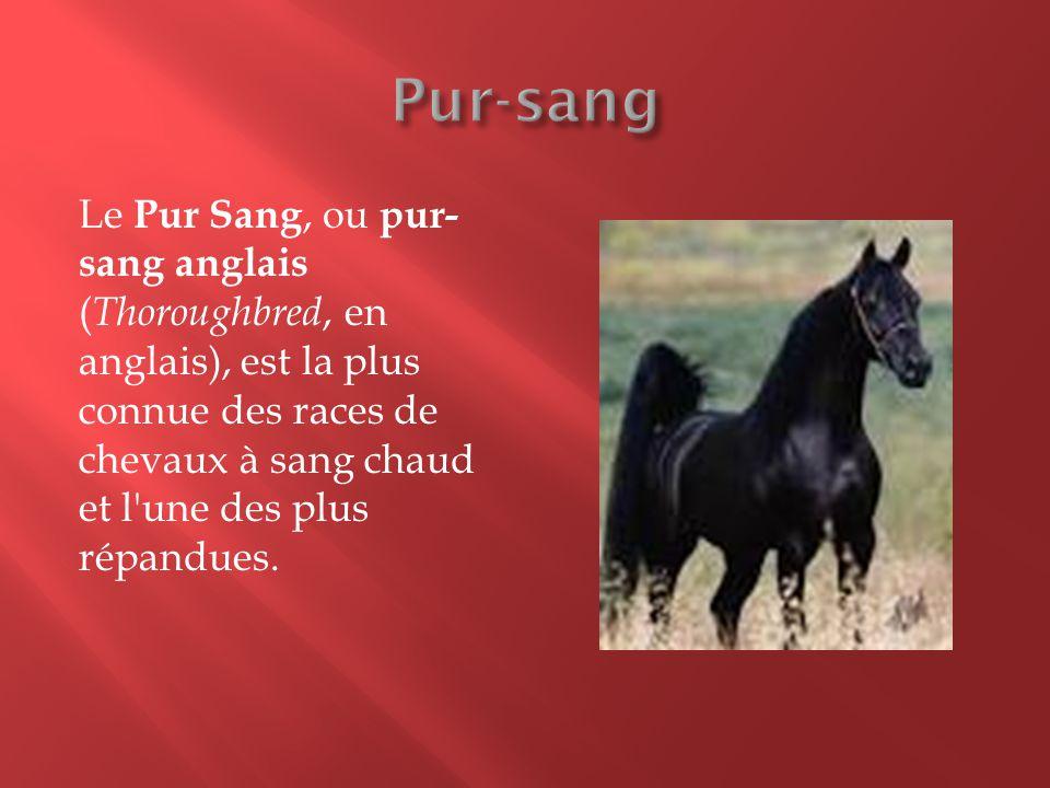 Le Pur Sang, ou pur- sang anglais ( Thoroughbred, en anglais), est la plus connue des races de chevaux à sang chaud et l'une des plus répandues.