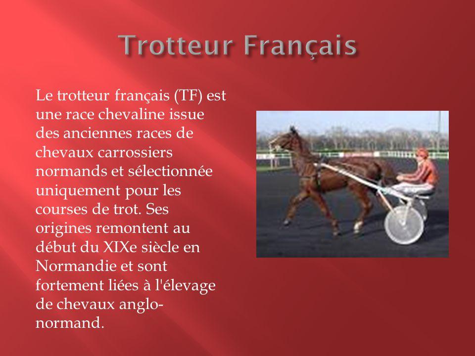 Le trotteur français (TF) est une race chevaline issue des anciennes races de chevaux carrossiers normands et sélectionnée uniquement pour les courses