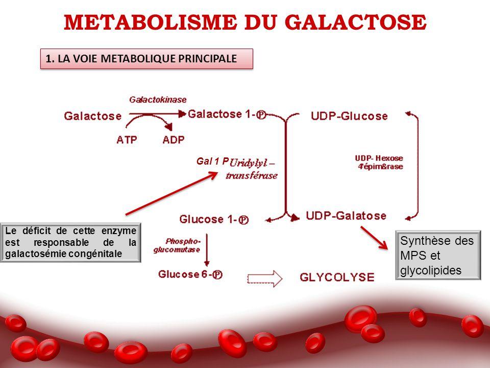METABOLISME DU GALACTOSE 1. LA VOIE METABOLIQUE PRINCIPALE Le déficit de cette enzyme est responsable de la galactosémie congénitale Synthèse des MPS