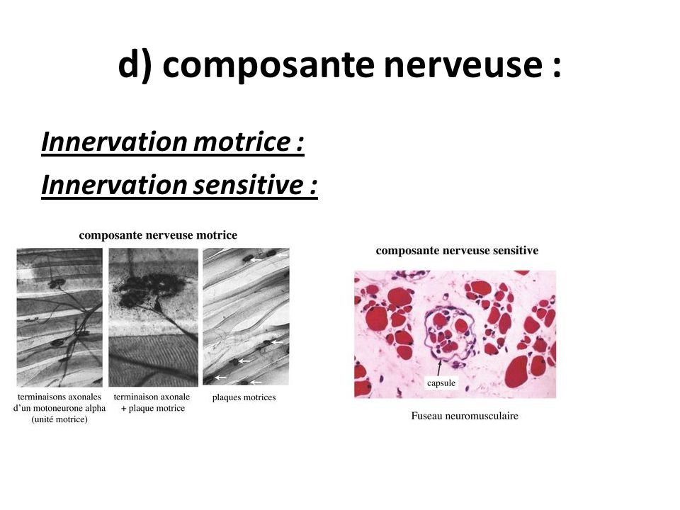 d) composante nerveuse : Innervation motrice : Innervation sensitive :