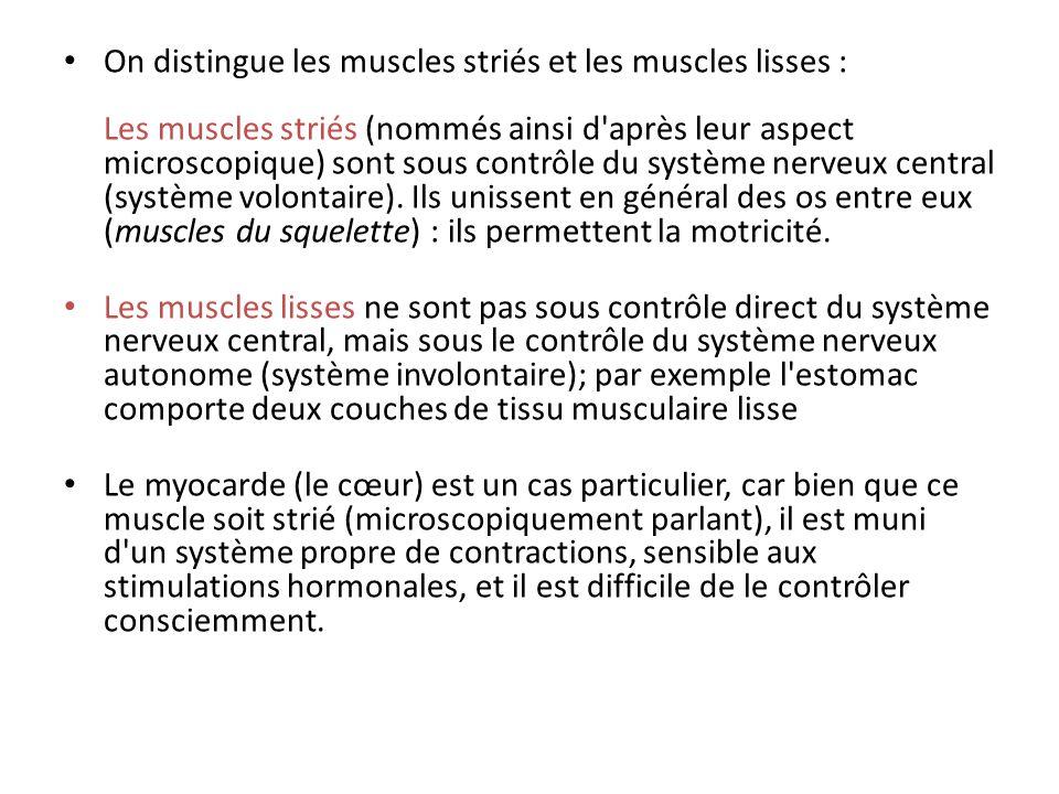 Les muscles des membres sont striés, ces muscles sont les éléments moteurs de lappareil locomoteur.