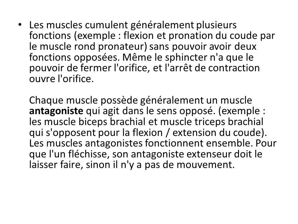 Situation Du fait de leur situation ont distingue : les muscles superficiels, les muscles profonds ou sous aponévrotiques.