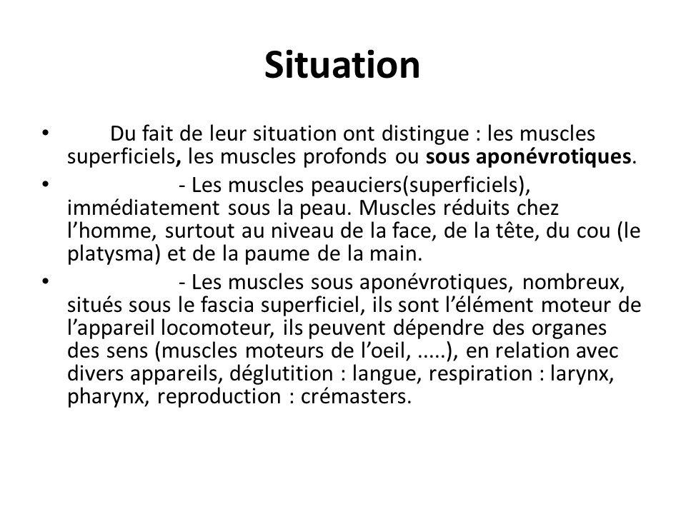 Forme On décrit au niveau du muscle deux parties : - Un corps, ventre, volumineux rouge et contractile - Deux extrémités plus étroites, blanches, parties tendineuses et résistantes.