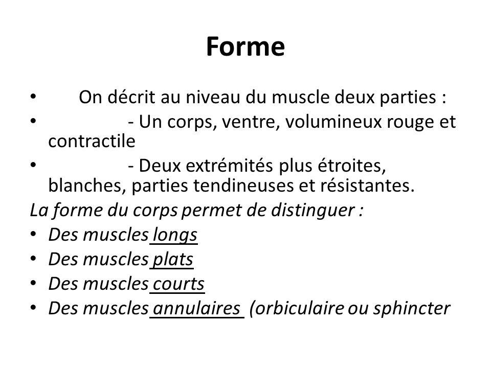 Nomenclature Souvent le nom du muscle souligne un caractère morphologique entrevu au châpitre précédent ou un caractére fonctionnel, dou : - La forme : trapèze.....