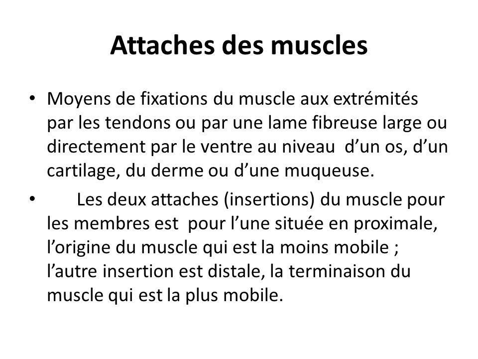 Anatomie fonctionnelle Les muscles transforment de lénergie chimique en énergie mécanique.