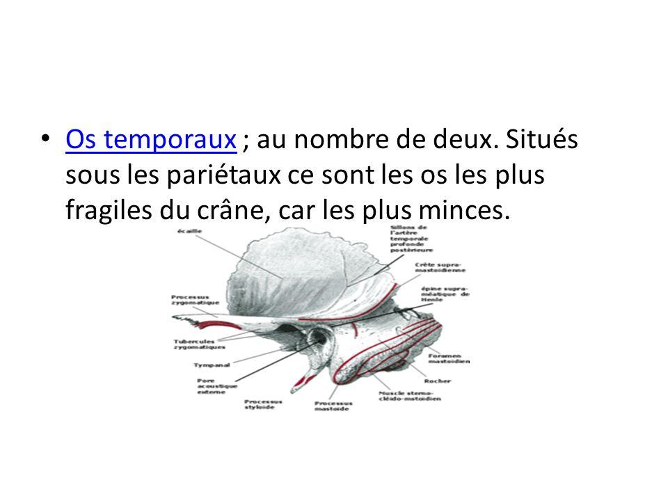 Os temporaux ; au nombre de deux. Situés sous les pariétaux ce sont les os les plus fragiles du crâne, car les plus minces. Os temporaux