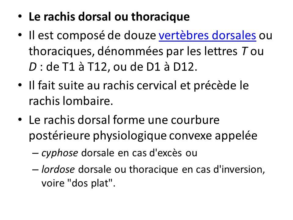 Le rachis dorsal ou thoracique Il est composé de douze vertèbres dorsales ou thoraciques, dénommées par les lettres T ou D : de T1 à T12, ou de D1 à D12.vertèbres dorsales Il fait suite au rachis cervical et précède le rachis lombaire.