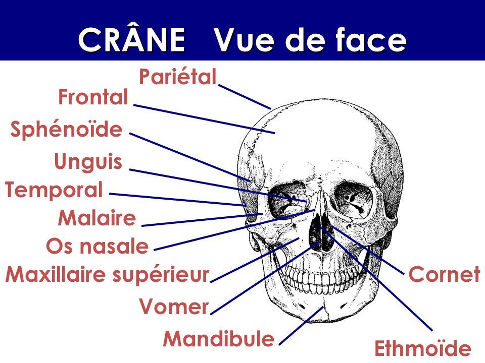 CRÂNE Vue de face Pariétal Frontal Malaire Sphénoïde Temporal Unguis Os nasale Maxillaire supérieur Vomer Mandibule Ethmoïde Cornet