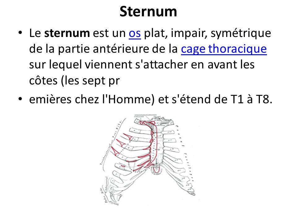 Sternum Le sternum est un os plat, impair, symétrique de la partie antérieure de la cage thoracique sur lequel viennent s'attacher en avant les côtes