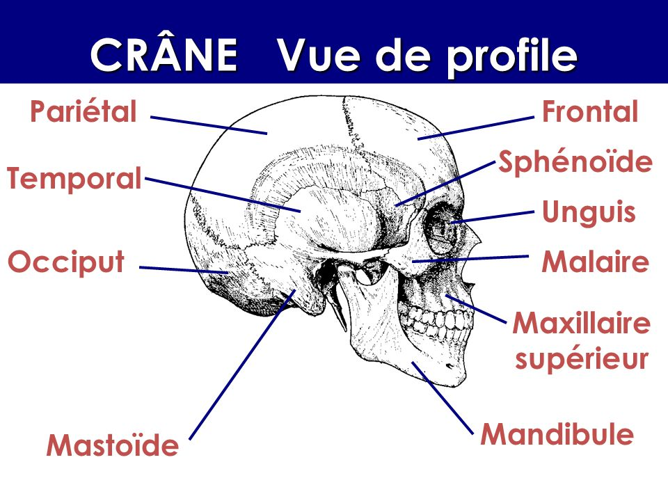 CRÂNE Vue de profile PariétalFrontal Sphénoïde Temporal Malaire Maxillaire supérieur Mandibule Occiput Unguis Mastoïde