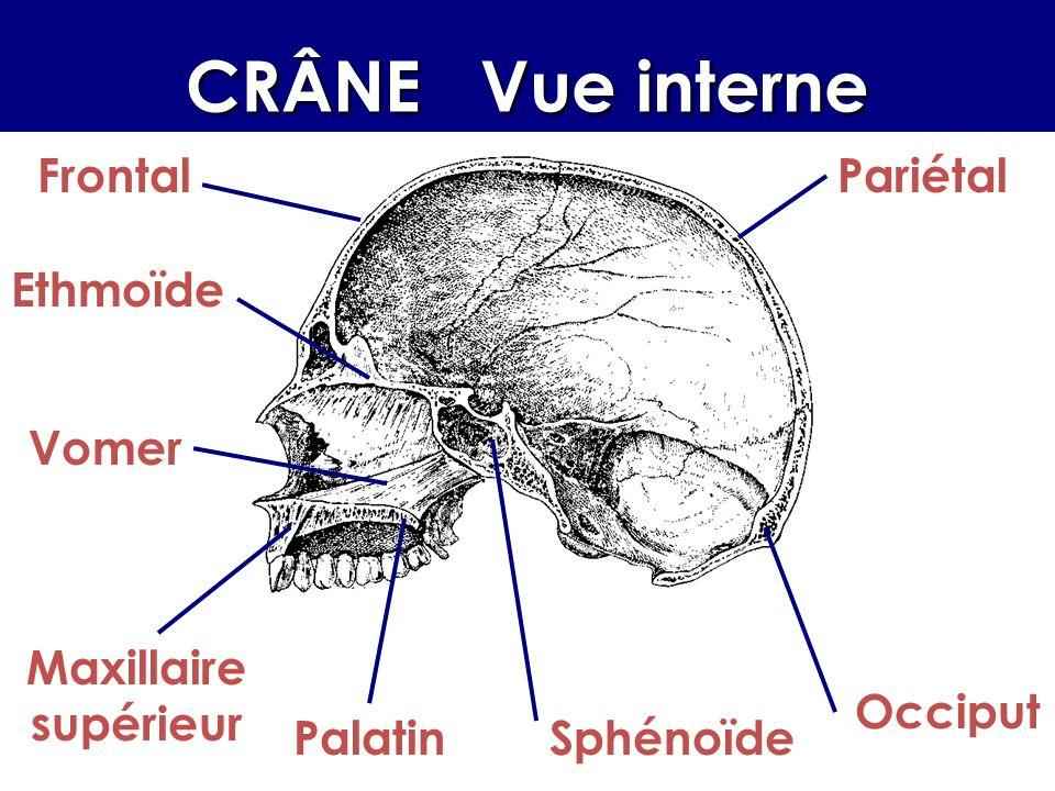 La boîte crânienne La boîte crânienne, ou neurocrâne, comprend deux parties : la voûte, (ou calvaria) formée plaques osseuses, soudées entre elles par des sutures interdigitées extrêmement solides.