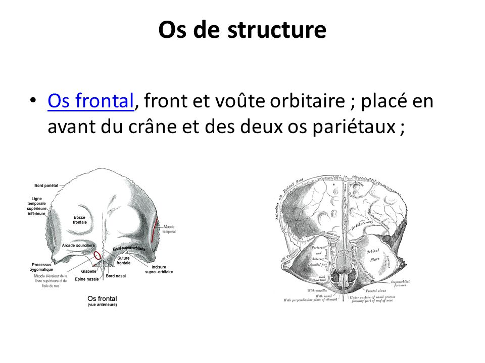 Os occipital, arrière et base du crâne ; Os occipital