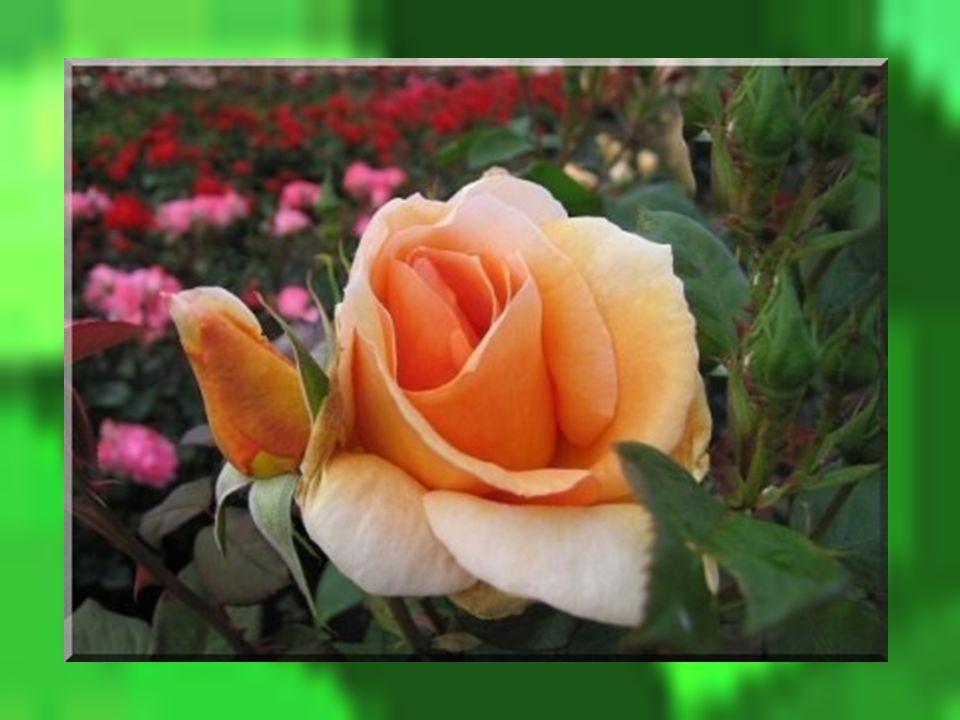 Un jour dans un jardin de roses, un rosier était occupé à secouer ses branches alourdies par la première pluie de lété lorsque soudain, il entendit un