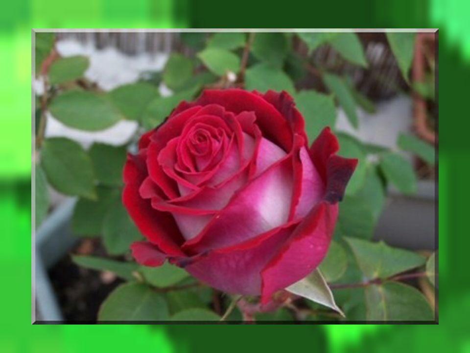 Les belles paroles du rosier traversèrent le cœur de la petite rose sans trop sarrêter et le temps passa… Et ce fût bien ainsi. La sagesse entra dans