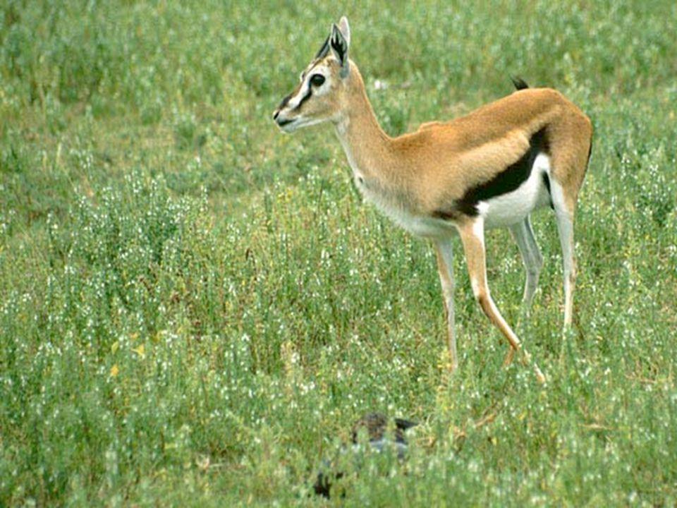 Sautant par-dessus les monts, bondissant par-dessus les collines, mon chéri est comparable à une gazelle ou à un faon de biche.