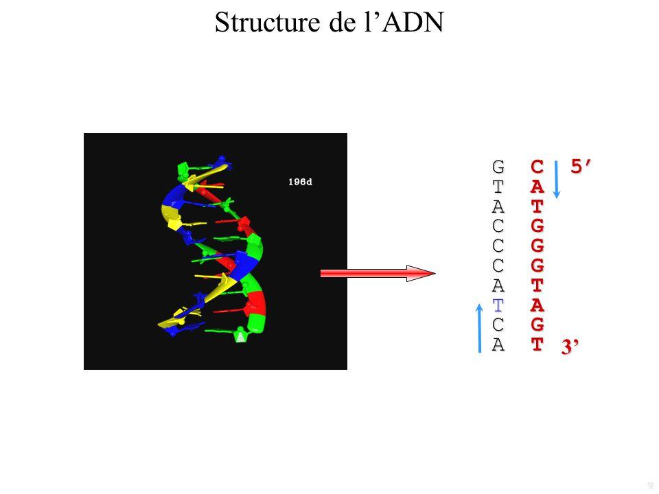 G C 5 T A A T C G A T T A C G A T M T3 Structure de lADN