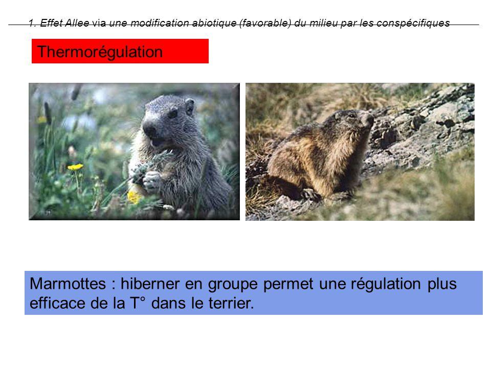 Marmottes : hiberner en groupe permet une régulation plus efficace de la T° dans le terrier. 1. Effet Allee via une modification abiotique (favorable)