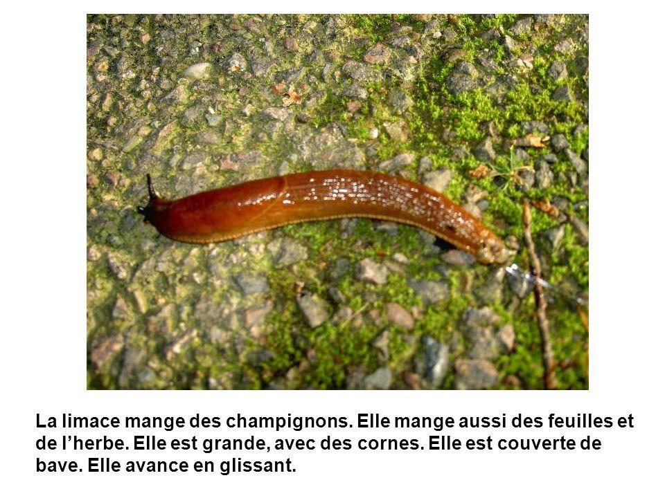 La limace mange des champignons. Elle mange aussi des feuilles et de lherbe. Elle est grande, avec des cornes. Elle est couverte de bave. Elle avance