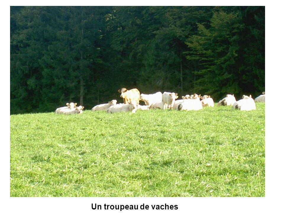 Un troupeau de vaches