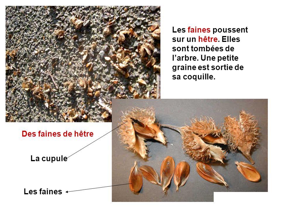 Des faines de hêtre La cupule Les faines Les faines poussent sur un hêtre. Elles sont tombées de larbre. Une petite graine est sortie de sa coquille.