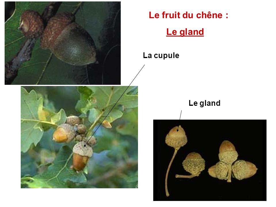 Le fruit du chêne : Le gland La cupule