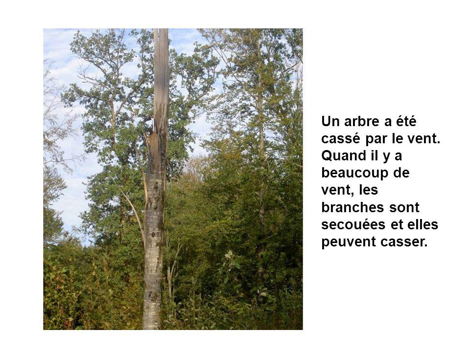 Un arbre a été cassé par le vent. Quand il y a beaucoup de vent, les branches sont secouées et elles peuvent casser.