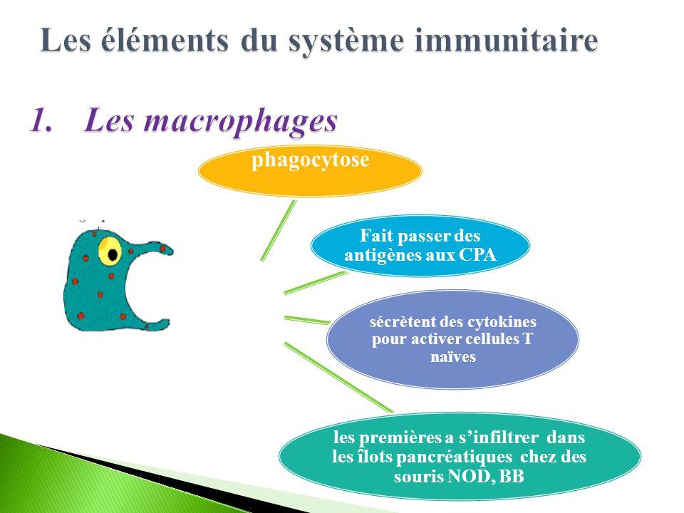 phagocytose Fait passer des antigènes aux CPA sécrètent des cytokines pour activer cellules T naïves les premières a sinfiltrer dans les îlots pancréatiques chez des souris NOD, BB