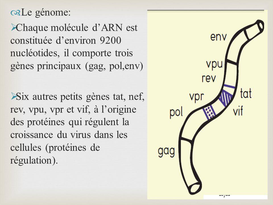 Le génome: Chaque molécule dARN est constituée denviron 9200 nucléotides, il comporte trois gènes principaux (gag, pol,env) Six autres petits gènes ta