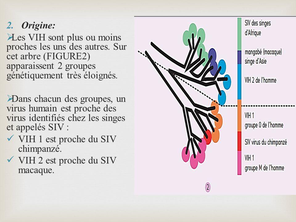 2.Origine: Les VIH sont plus ou moins proches les uns des autres. Sur cet arbre (FIGURE2) apparaissent 2 groupes génétiquement très éloignés. Dans cha