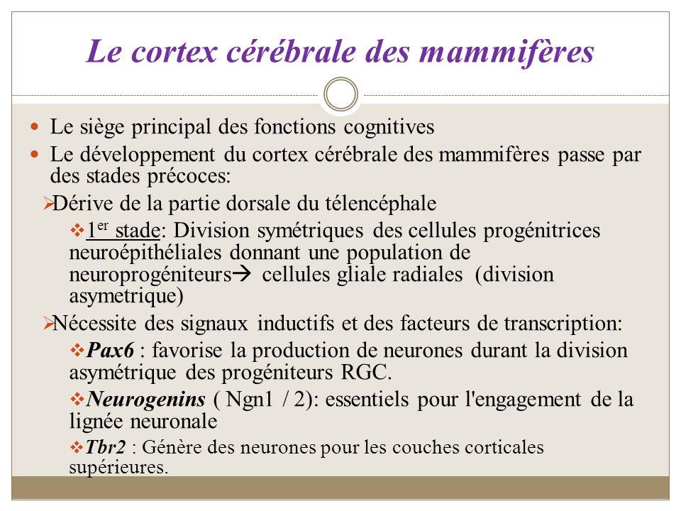 Le cortex cérébrale des mammifères Le siège principal des fonctions cognitives Le développement du cortex cérébrale des mammifères passe par des stade