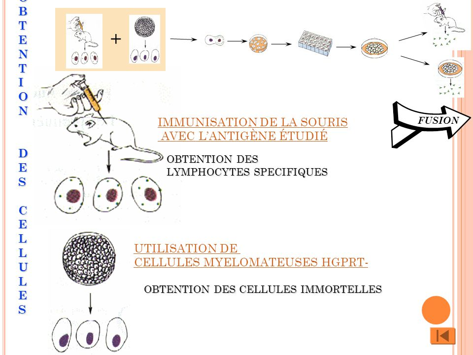+ FUSION UTILISATION DE CELLULES MYELOMATEUSES HGPRT- OBTENTION DES LYMPHOCYTES SPECIFIQUES OBTENTION DES LYMPHOCYTES SPECIFIQUES OBTENTION DES CELLULES IMMORTELLES OBTENTION DES CELLULESOBTENTION DES CELLULESOBTENTION DES CELLULESOBTENTION DES CELLULES IMMUNISATION DE LA SOURIS AVEC LANTIGÈNE ÉTUDIÉ