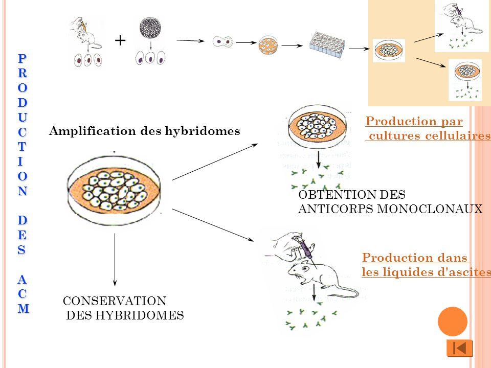 Amplification des hybridomes Production par cultures cellulaires Production dans les liquides d'ascites + PRODUCTIONDESACMPRODUCTIONDESACMPRODUCTIONDE