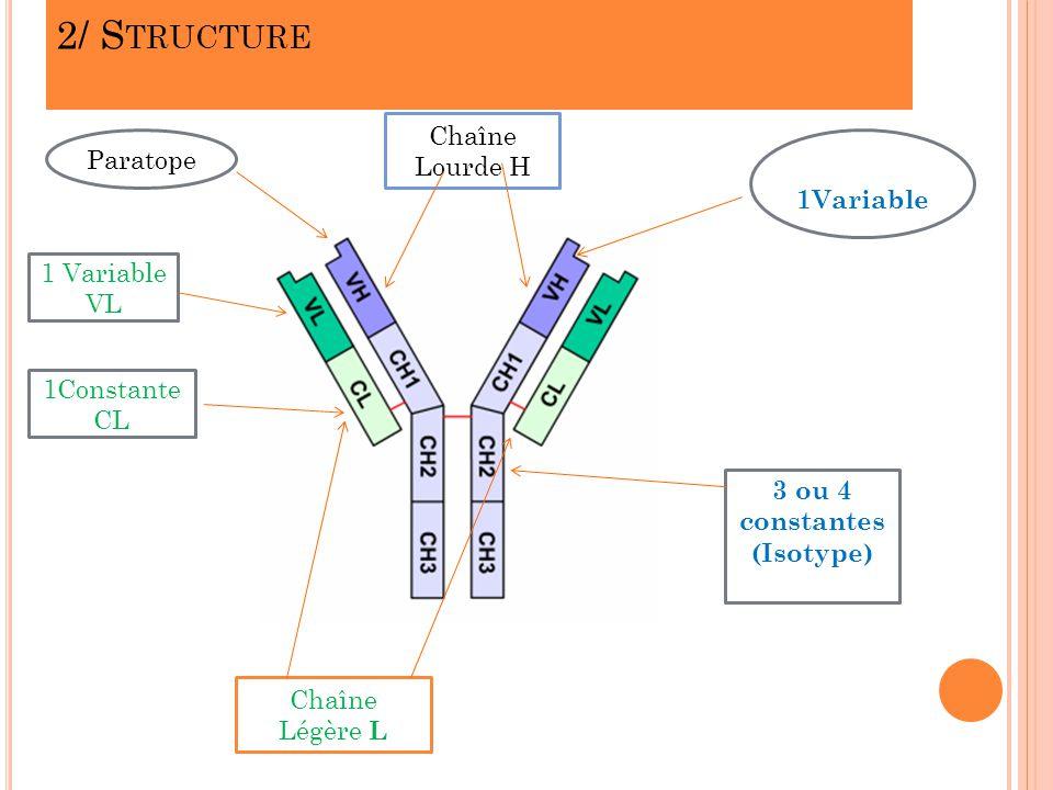 2/ S TRUCTURE Chaîne Légère L Chaîne Lourde H 1 Variable VL 1Constante CL Paratope 1Variable 3 ou 4 constantes (Isotype)