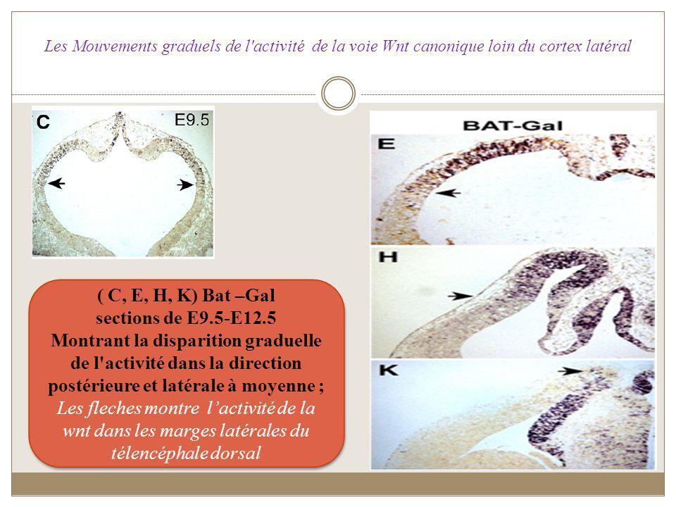 ( C, E, H, K) Bat –Gal sections de E9.5-E12.5 Montrant la disparition graduelle de l'activité dans la direction postérieure et latérale à moyenne ; Le