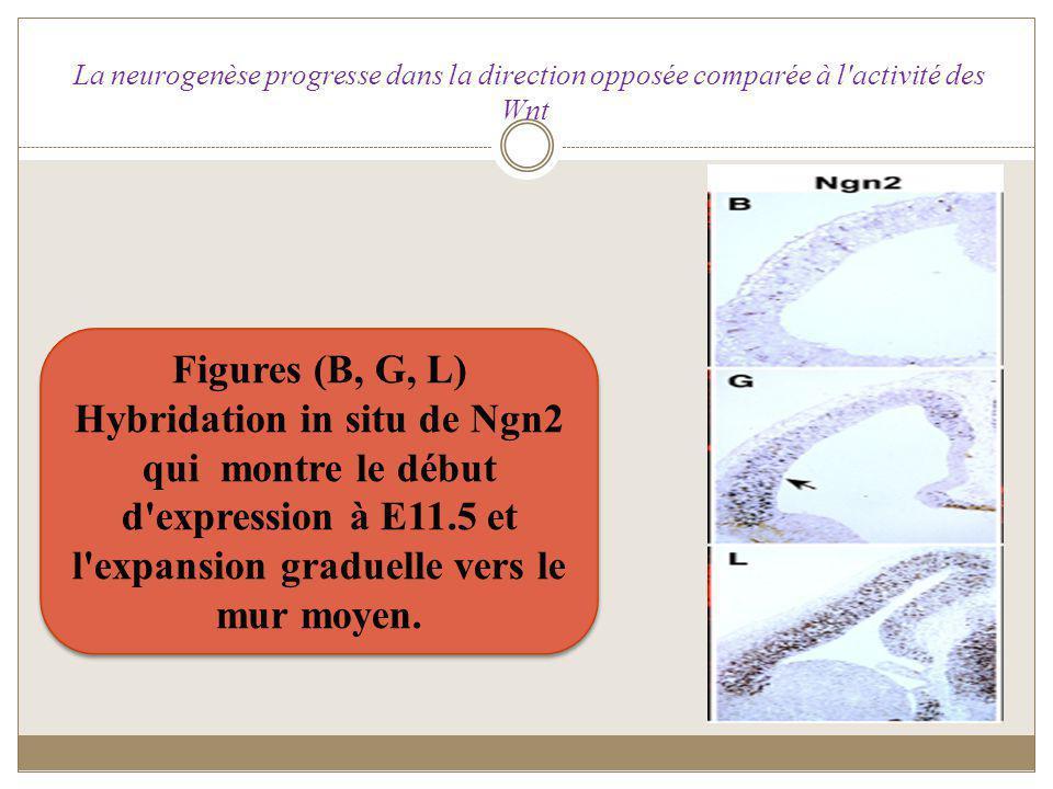 La neurogenèse progresse dans la direction opposée comparée à l'activité des Wnt Figures (B, G, L) Hybridation in situ de Ngn2 qui montre le début d'e