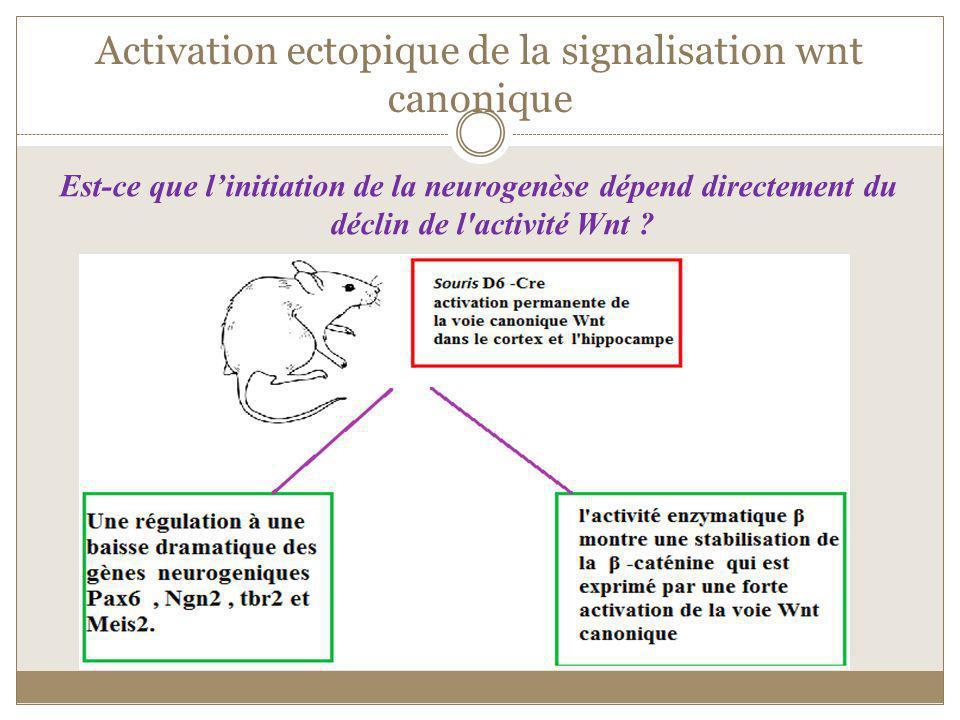 Activation ectopique de la signalisation wnt canonique Est-ce que linitiation de la neurogenèse dépend directement du déclin de l'activité Wnt ?