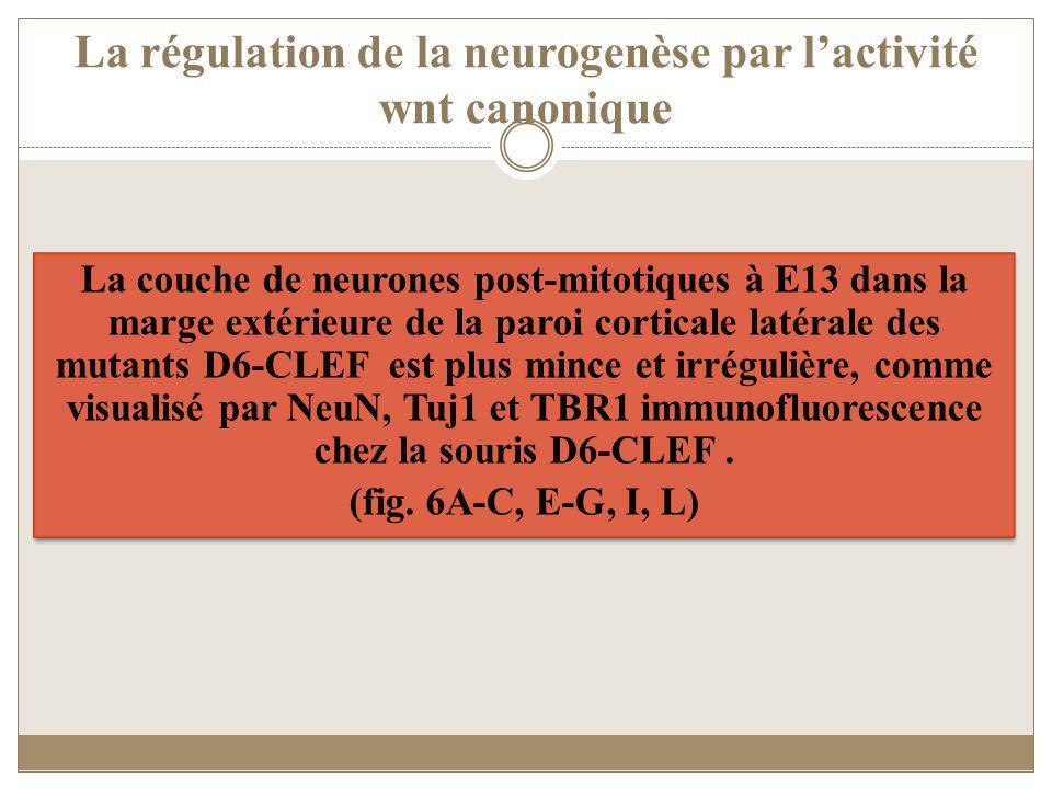 La régulation de la neurogenèse par lactivité wnt canonique La couche de neurones post-mitotiques à E13 dans la marge extérieure de la paroi corticale