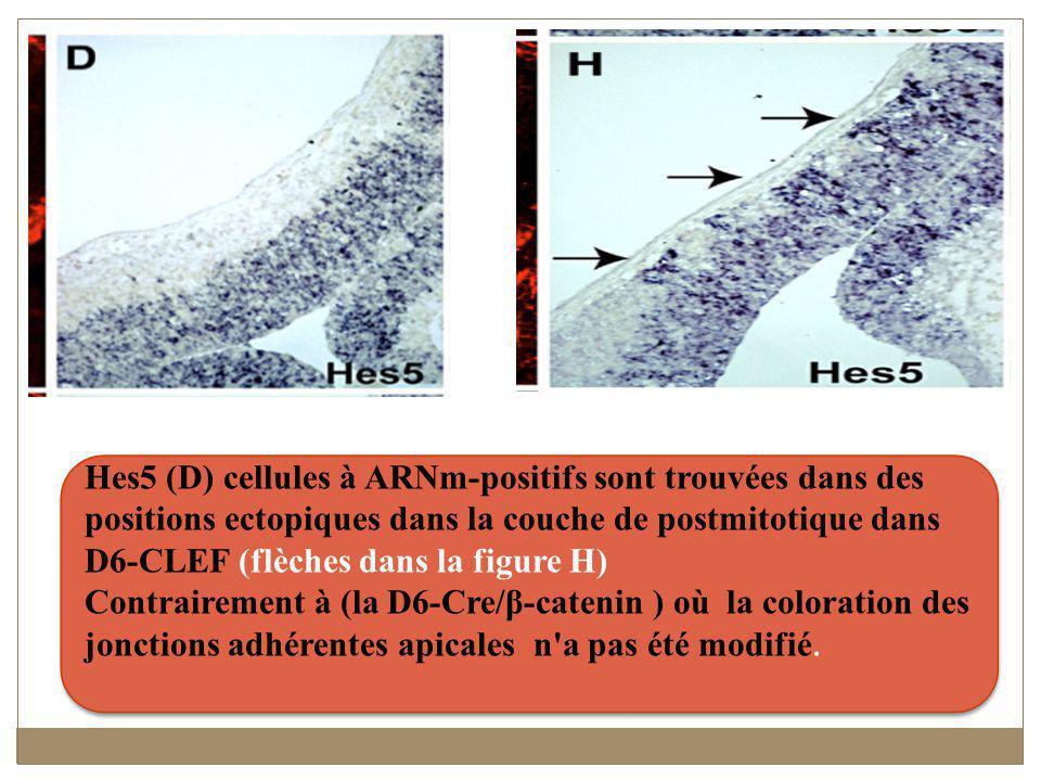 Hes5 (D) cellules à ARNm-positifs sont trouvées dans des positions ectopiques dans la couche de postmitotique dans D6-CLEF (flèches dans la figure H)