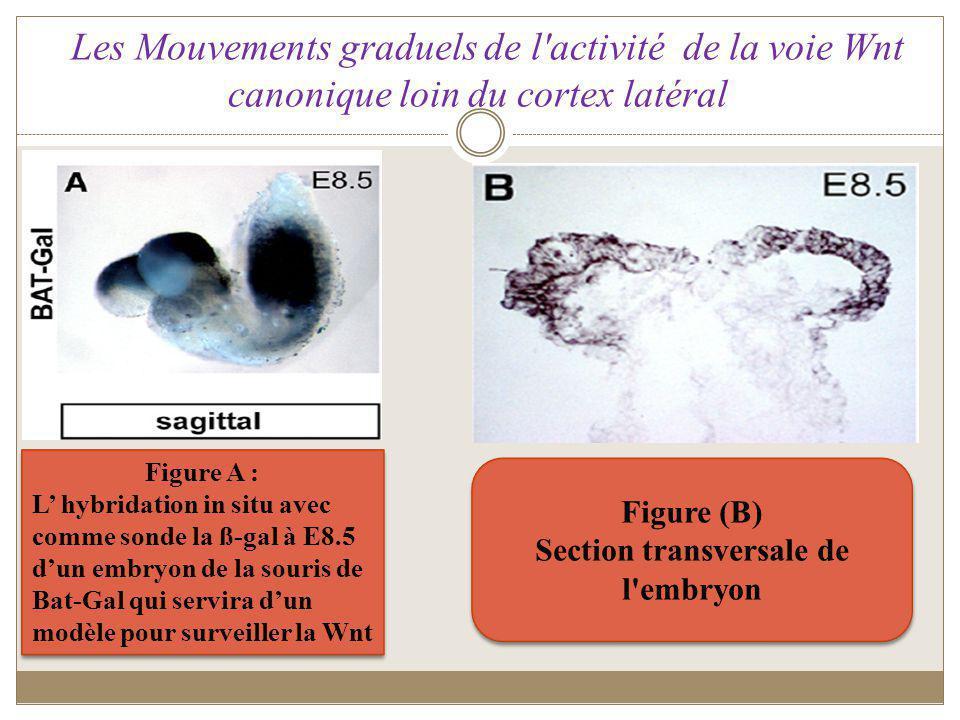 Figures ( D, G, J) Hybridation In situ sur sections sagittales au niveau du cortex de la souris Bat-Gal entre E10.5 et E12.