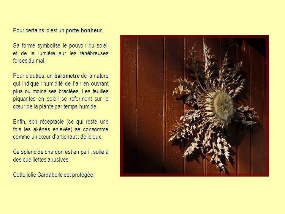 La Cardabelle, appelée aussi Carline à feuilles dacanthe, surnommée «beau chardon» en catalan ou en occitan.
