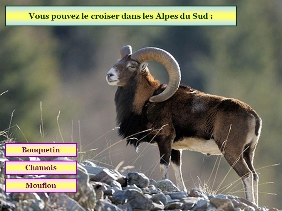 Vous pouvez le croiser dans les Alpes du Sud : Bouquetin Chamois Mouflon