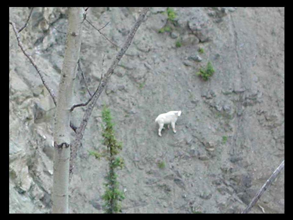 Le plus agile de tous les mammifères de montagne, la chèvre de montagne se déplace en toute confiance sur les corniches rocheuses où ils sont à l'abri