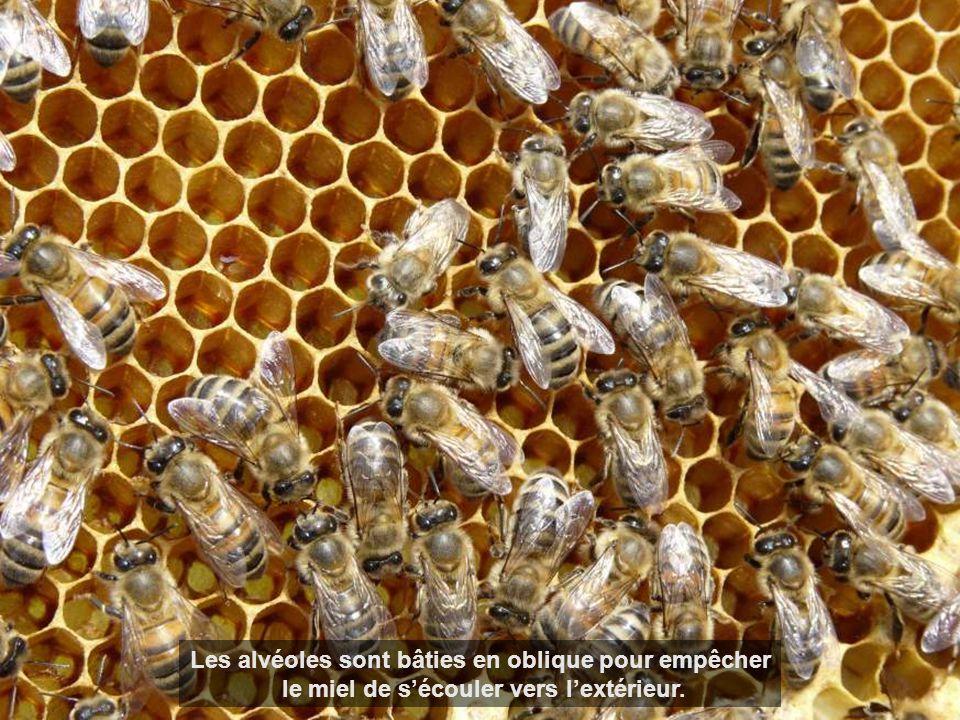 Les alvéoles sont bâties en oblique pour empêcher le miel de sécouler vers lextérieur.