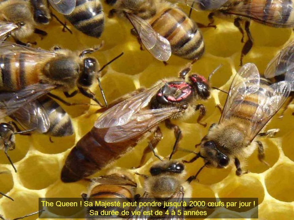 The Queen ! Sa Majesté peut pondre jusquà 2000 œufs par jour ! Sa durée de vie est de 4 à 5 années