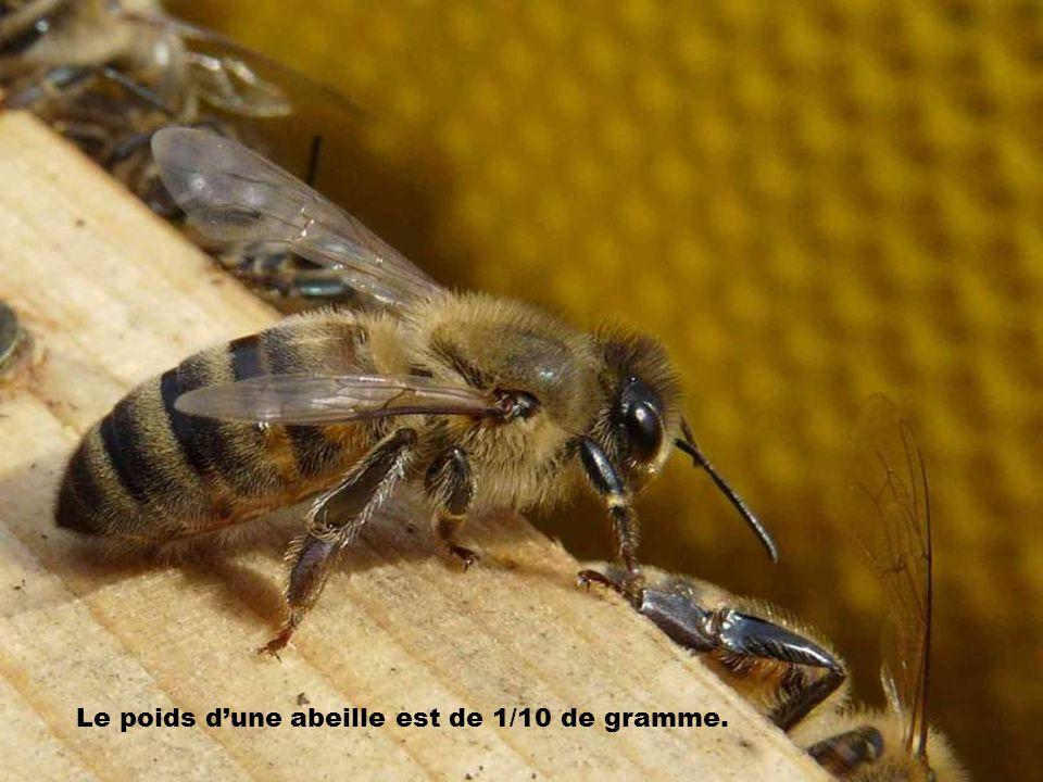 Elle ramène à la ruche la moitié de son poids soit 005 grammes.