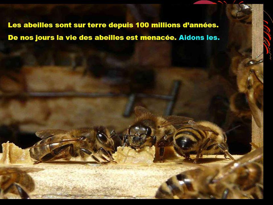 Les abeilles sont sur terre depuis 100 millions dannées. De nos jours la vie des abeilles est menacée. Aidons les.