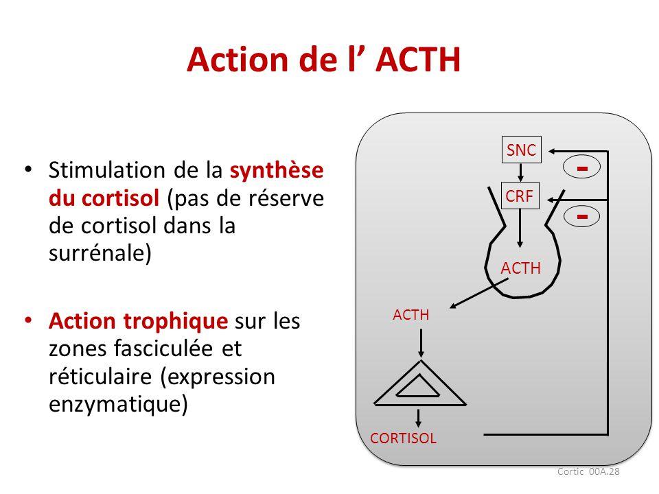 Cortic 00A.28 Action de l ACTH Stimulation de la synthèse du cortisol (pas de réserve de cortisol dans la surrénale) Action trophique sur les zones fa